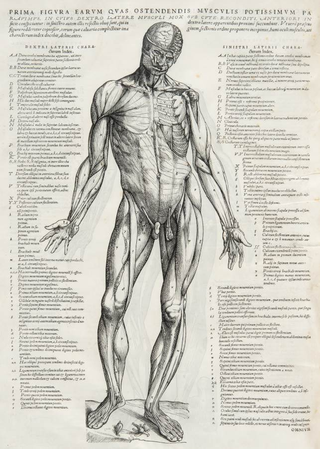 Vesalius illustration of the muscles of the body 'on the fabric of the Human body' 1543 (credit: University of Glasgow Library, Special Collections)