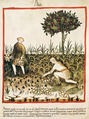 Garlic (Allium sativum), Tacuinum Sanitatis